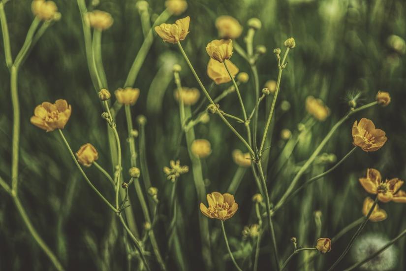 buttercup-2301217_1920.jpg