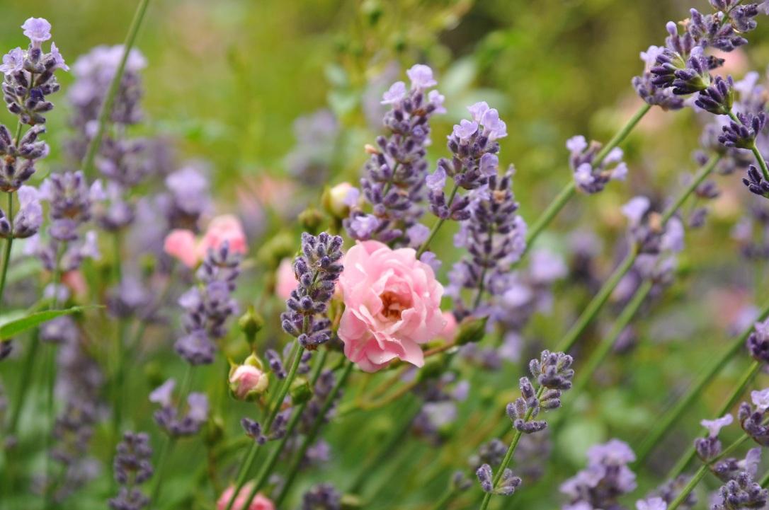 rose-1545188