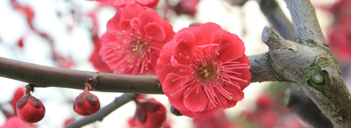 plum-blossom-89535-1