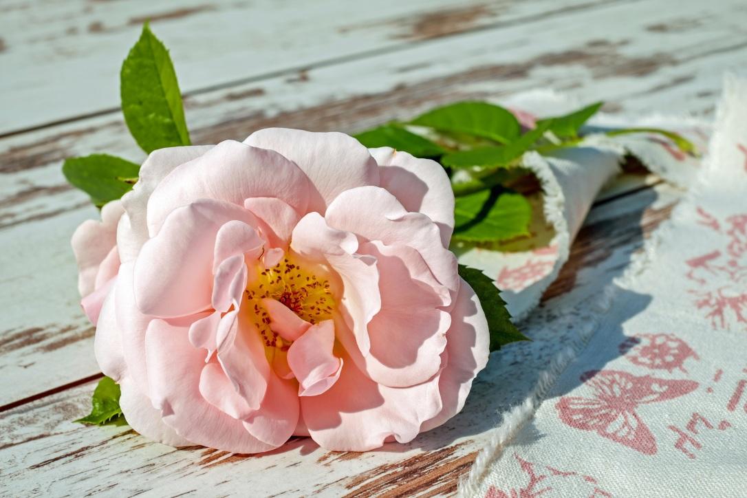 rose-2378156