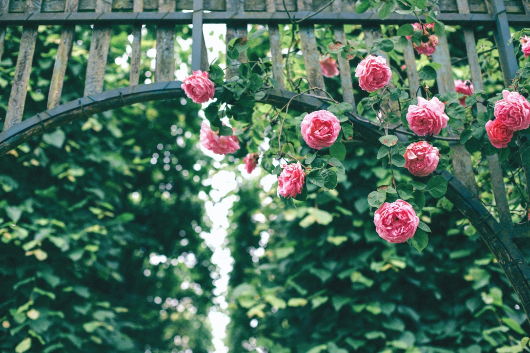 roses-2604270