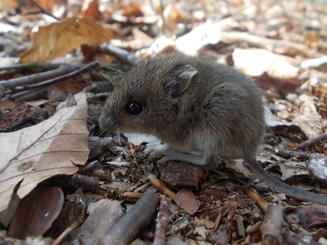 wood-mouse-823796
